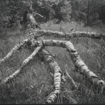 Birke liegend Ausschnitt